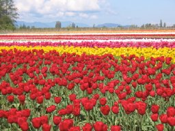 Skagit photos - rainbow flowers