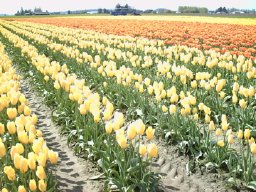 Skagit photos - yellow and orange tulips