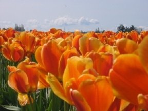 A picture of the Tulip Festival in Seattle