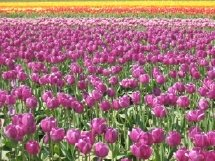 Just some of the many tulips at the Seattel Tulip Festival