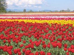 Skagit photos - rainbow flowers