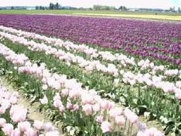 Skagit photos - purple and pink flowers