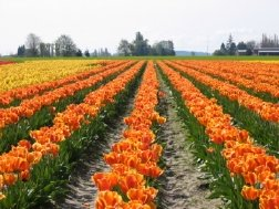 Rows and rows of tulips at the Skagit Valley Tulip Festival